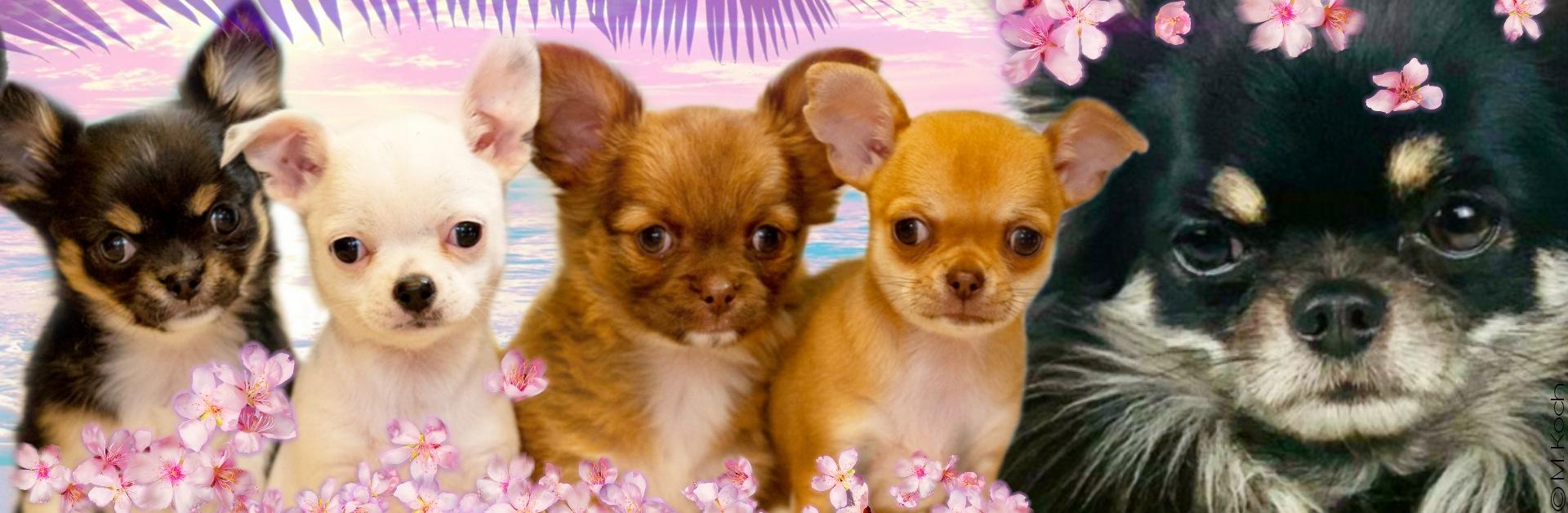 Chihuahuas von der Isla Baja – VDH/FCI